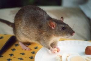 Rat   Tax whistleblowers